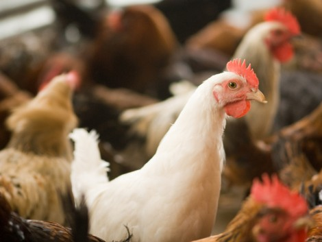 A madárinfluenza-vírus továbbra is veszélyt jelent a baromfiállományokra