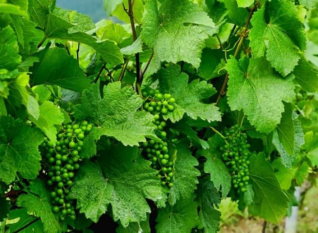 Támogatást kapnak a szőlőtermesztők, ha lemondanak az idei termésükről