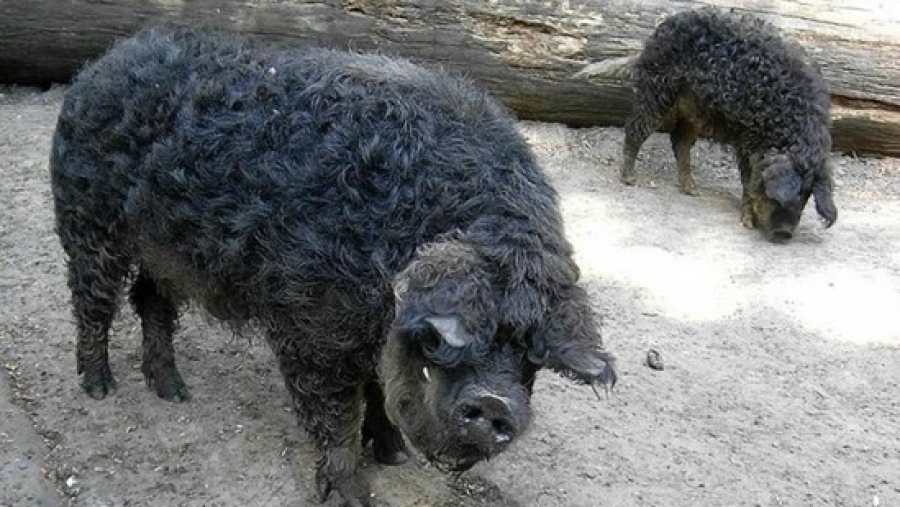 fekete mangalica