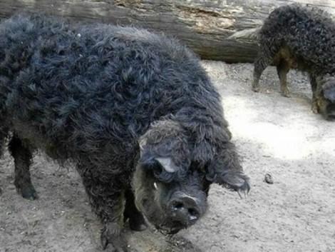 Teljesült a sertéstartók régi vágya: elismert fajta lett a fekete mangalica