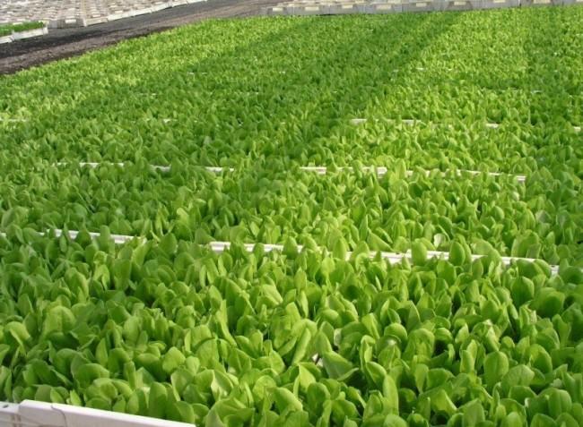 Tanácsok a fejes saláta palántaneveléséhez