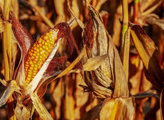 Nagyott drágult a kukorica – részben a koronavírus miatt