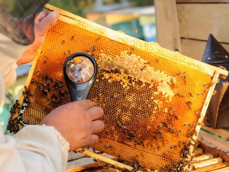 Egészségesek a notre-dame-i méhkaptárak