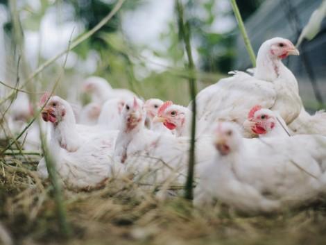 A koronavírus mellett a madárinfluenza is sújtja Kínát