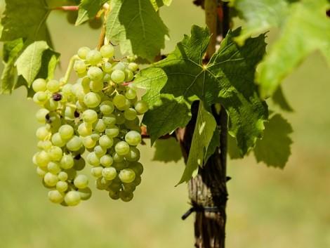 Sok borra lehet számítani, a gazdáknak időben dönteniük kell zöldszüretről
