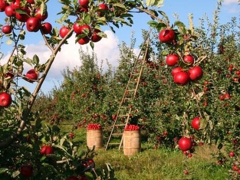 Jó tanácsok gyümölcs-szaporítóanyag vásárlásához