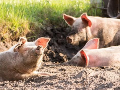 Drasztikusan csökkentik a szója felhasználását a sertéstakarmányozásban