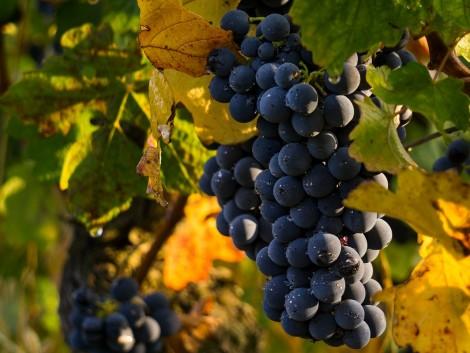 Jó hír a szőlőtermelőknek!