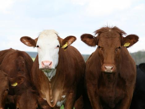 Előny vagy hátrány a kukoricatarló legeltetése?