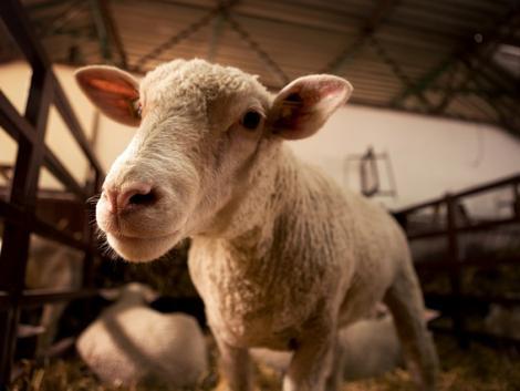 Fontos lépés a juh- és kecskeágazatért