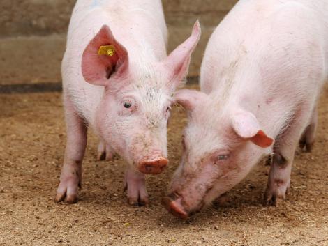 Hogyan gazdagíthatjuk a sertések környezetét és egyátalán miért is van erre szükség?