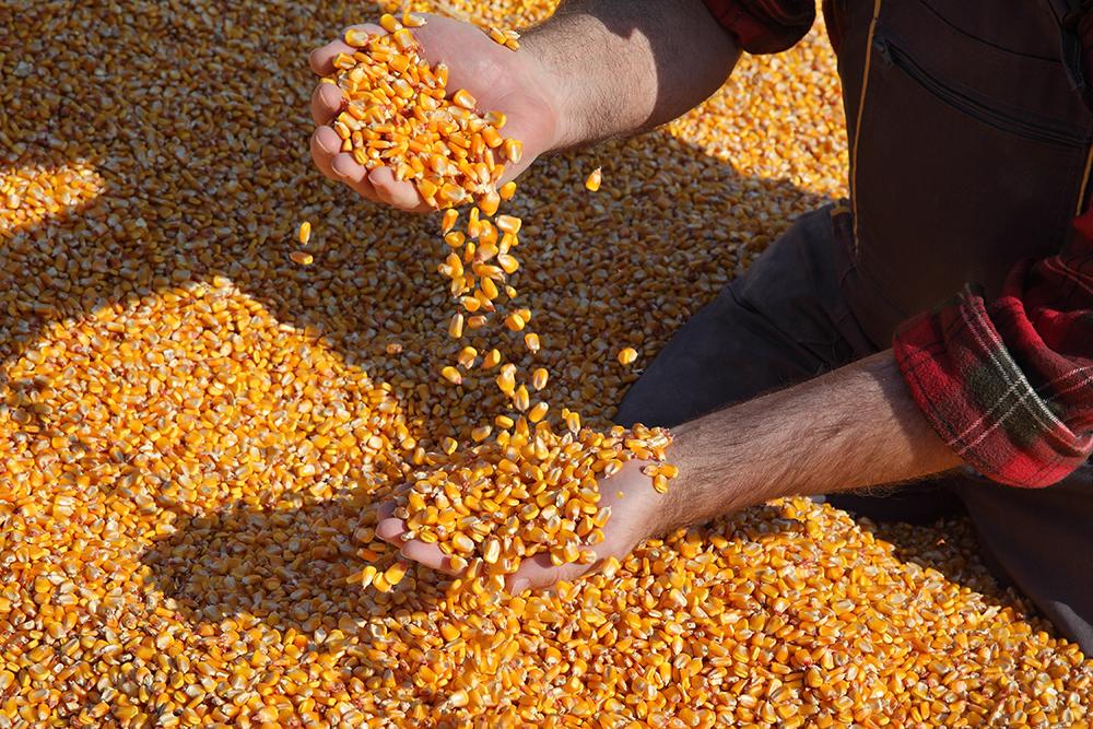 Kukorica termés