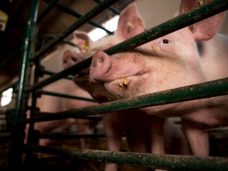 Kínai kutatók oltóanyagot dolgoztak ki az afrikai sertéspestis ellen
