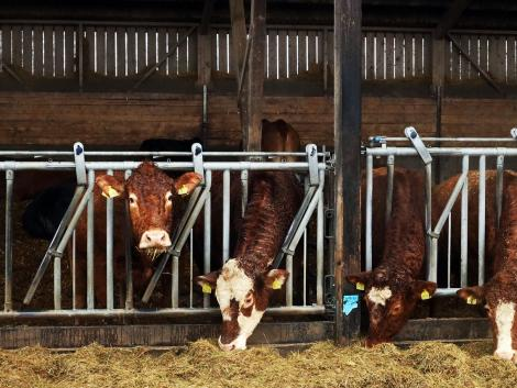 A csokoládéval etetett holland tehenek tovább élnek