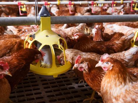 30 millió forintot kaphatnak a sertés- és baromfitartók a járványvédelmi beruházások támogatására
