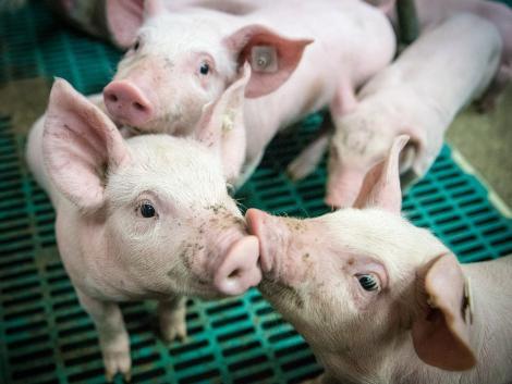 A járvány miatt módosul a sertés állatjóléti kifizetési kérelmek benyújtása
