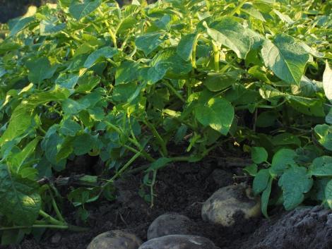 Fertőzött vetőburgonyát talált a Nébih Somogy megyében