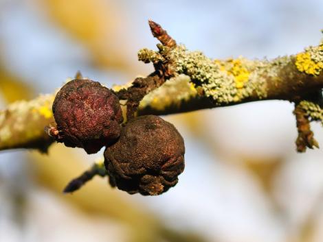 Egy készülék, ami képes előre figyelmeztetni a gyümölcsök romlására