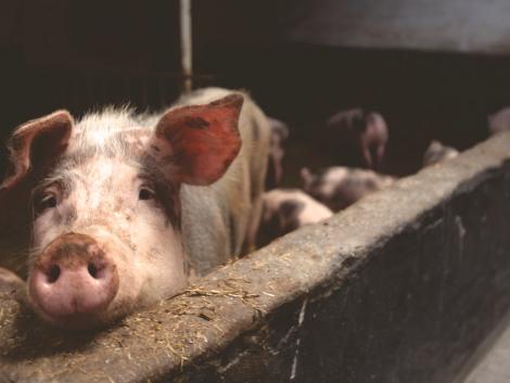 Megszületett a döntés: 2021 után is lesz tenyészkoca állatjóléti támogatás