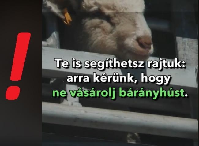 Szándékos károkozás?! Álhírek borzolják a magyar juhászok kedélyét – VIDEÓ