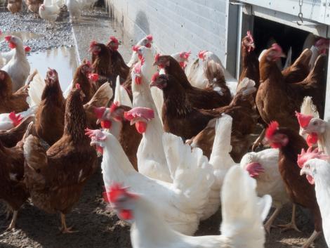 Baromfitartók figyelem: jelentős könnyítés az állatjóléti támogatások kifizetésének kérelmezésében!