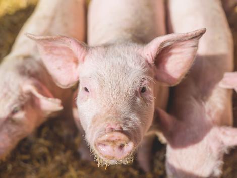 Folytatódik a baromfi- és sertéságazat állatjóléti támogatásainak kifizetése