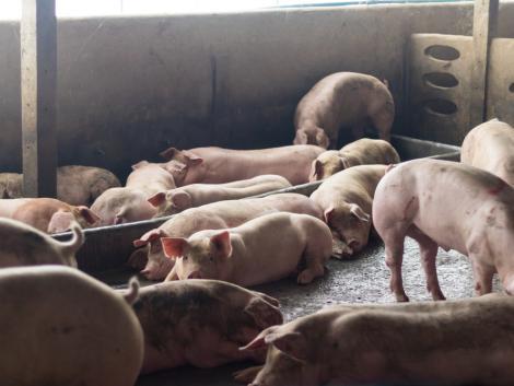 Folytatódik a tenyészkoca-állatjóléti támogatási program