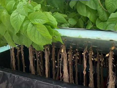 Indiában termőtalaj nélkül termesztenek burgonyát
