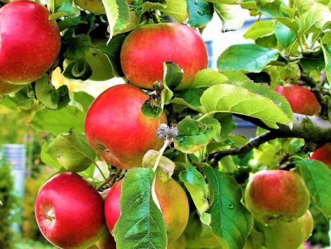 A súlyos fagykárok Lengyelország almatermését akár 80 százalékkal is visszavethetik