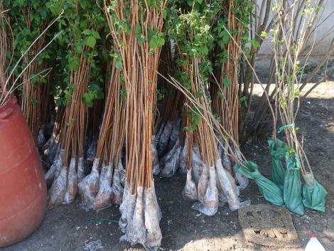 Kétezer illegális gyümölcsfaoltványt semmisített meg a Nébih