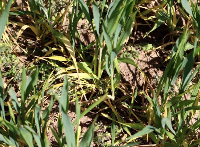Növényvédelmi előrejelzés: Az aszálytól meggyötört kalászosokat most a vetésfehérítők támadják
