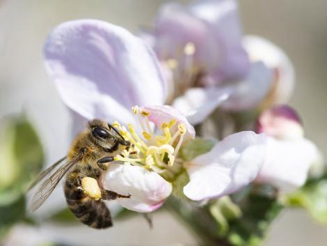Egy új eljárás beporzó méhek segítségével védi a növényeket a kórokozóktól