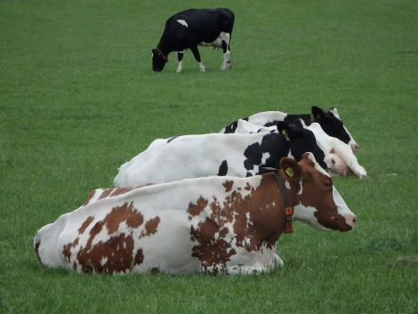 Összeomlás szélén a német tejipar?