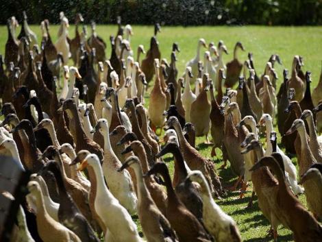 Éhes kacsák hada tartja kártevőmentesen ezt a dél-afrikai szőlőültetvényt