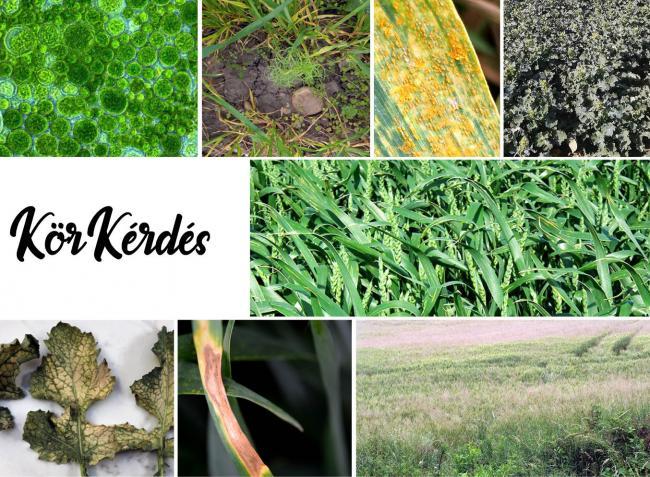 Hirtelen fognak lecsapni a gabonabetegségek – készüljünk fel időben!