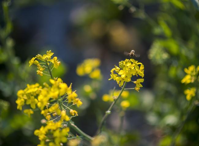 Növényvédelmi előrejelzés: Az őszi vetésű kultúráknál súlyos helyzet alakult ki