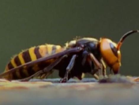 A koronavírussal a méheket pusztító gyilkos óriásdarazsak is megérkeztek Amerikába