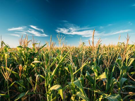 Hol a legjövedelmezőbb Magyarországon kukoricát termeszteni és miért?