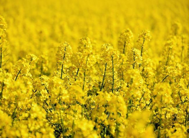 Veszélyben a gabona- és repcetermés – azonnal esőre van szükség