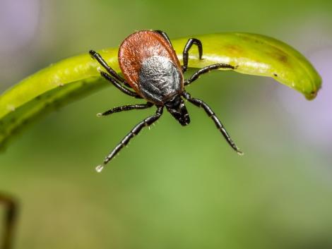 A kullancscsípés is kiválthat koronavírus-fertőzéshez hasonló panaszokat