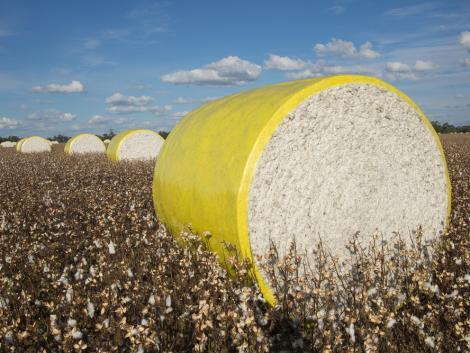 Szenzációs újítás: gyapotrostok előállítása 18 nap alatt, termőföld igénybevétele nélkül!
