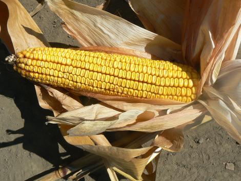 Idén a kukoricamoly erős korai kártételére számíthatunk – védekezzünk időben!