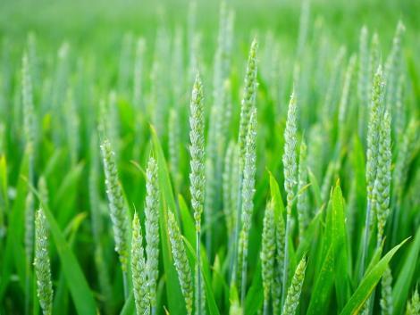 Hogy állnak a búza- és kukoricaállományok? – élő, online szántóföldi bemutató!