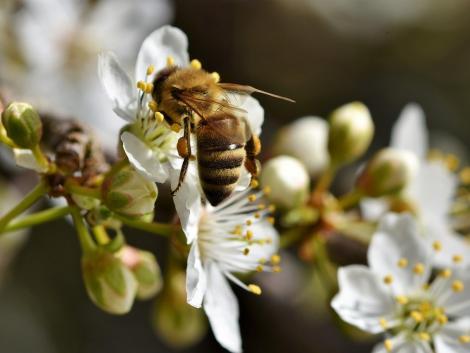 Az akácvirágot keresni kell a fákon – aggódnak a méhészek