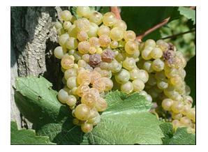 napégés szőlőfürtön
