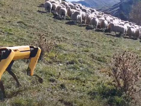 Már robotkutya tereli a birkákat Új-Zélandon –VIDEÓ