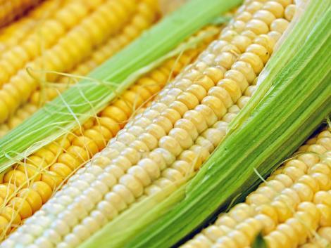 Új dunaföldvári biofinomítóban hasznosul a hazai kukorica