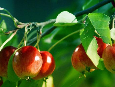 Megtizedelte a fagy a lengyel almatermést