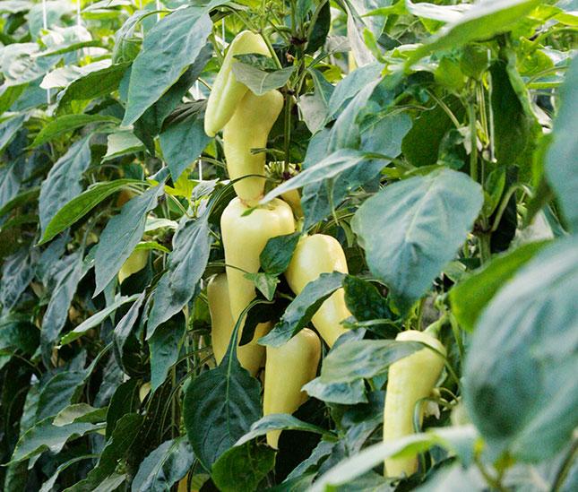 Paprika termés