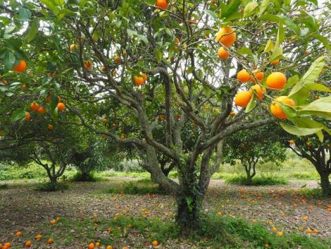 A termés mennyisége egy hónappal a gyümölcsérés előtt meghatározható